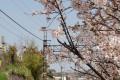 千光寺下踏切の桜
